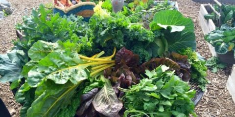 Got KALE? Give to the Friendship Shelter Garden!