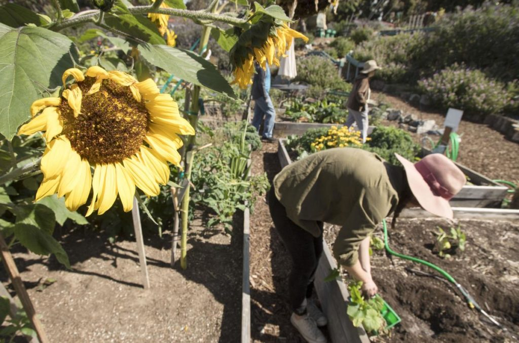 A sunflower sits out along a path between garden plots as Laguna Beach community gardner Katie Babcock, 26, replants nasturtiums after harvesting a large bag of beets on Saturday morning. ///PHOTO BY DAVID BRO, CONTRIBUTING PHOTOGRAPHER.